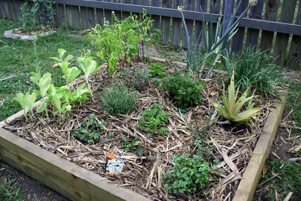 Mulched_herb_garden